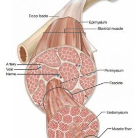Myofascial Release – My fascination with FASCIA