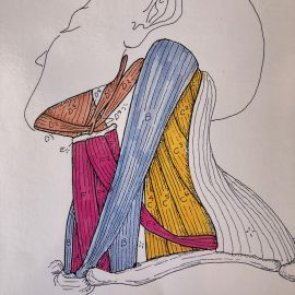 Anatomy – The SCM (Sternocleidomastoid)